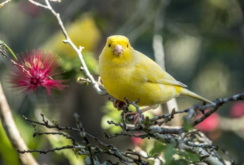 canario timbrado amarillo