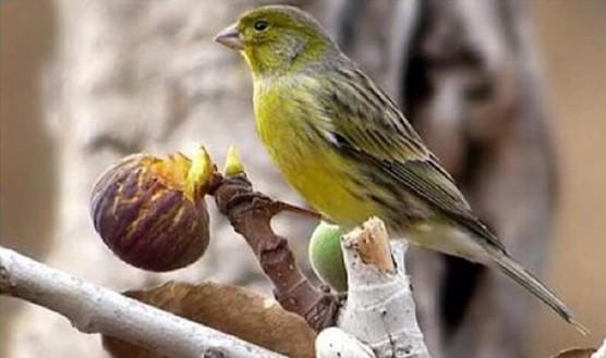 canario timbrado español amarillo
