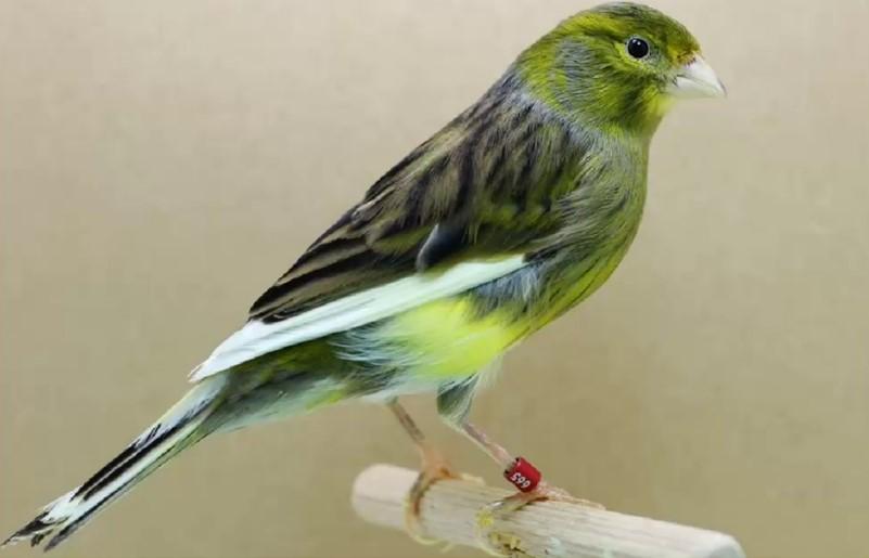 canario timbrado español verde